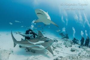 Sharks Rounding Divers, Playa del Carmen México by Alejandro Topete