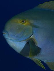 Portrait of surgeon fish taken at Shark Observatory, Ras ... by Nikki Van Veelen