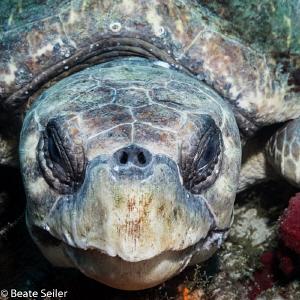 Loggerhead turtle by Beate Seiler