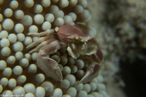 porcelain crab by Kyle Castelyn