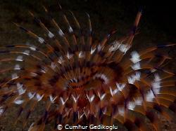 Bispira volutacornis WHITE SPIRAL by Cumhur Gedikoglu