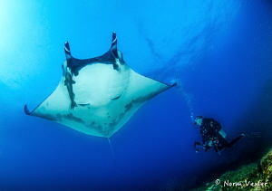 Swimming with huge Manta Rays in the Socorro Islands of M... by Norm Vexler