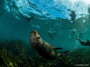Woooeee look at me swimming!! Cape Fur Seals having fun a... by Gemma Dry