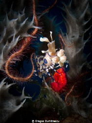 Harlequin Shrimp with a bite of red seastar. Canon G12, 1... by Dragos Dumitrescu