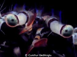 Pagurus anachoretus STARING at my camera by Cumhur Gedikoglu