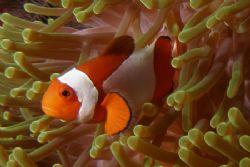 Clown fish in Sulawesi by Brad Cox