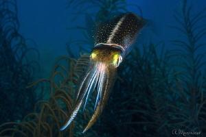 Squid, Bonaire by Aleksandr Marinicev