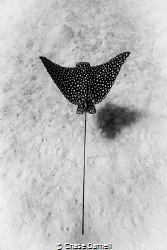 Sand | Search | Swim  A Spotted Eagle Ray cruising inche... by Chase Darnell