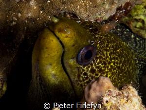 Moray eel with cleaner shrimp by Pieter Firlefyn