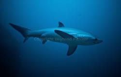 Thresher Shark by Wijnand Plekker