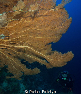 Gorgonian with diver by Pieter Firlefyn