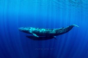 "Balaenoptera musculus  ""Blue Whale"" with Calf by Wayne Jones"