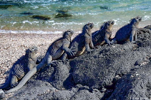 Marine Iguanas in the Galapagos Islands by Norm Vexler