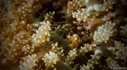 Title: Squat shrimp forest hide  NAME: squat fish anemo... by Mr Chai