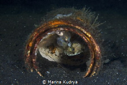 A small porcupine fish is hiding in a tin can. In the wat... by Marina Kudrya