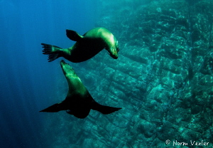 Playful Sea Lions by Norm Vexler