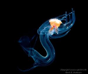 Starfish larva swimming by Rene B. Andersen