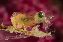 Pygmy Squid - Size = 6-8mm (No Crop)  Olympus OM-D EM-1... by Oktay Calisir