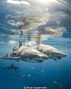 'You've Got A Friend In Me' - Two lemon sharks skim the s... by Tanya Houppermans