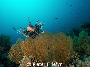 Lionfish with gorgonian by Pieter Firlefyn