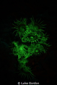 Fluorescent zoanthids display a large amount of GFP (gree... by Luke Gordon