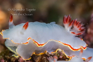 White Nudibranch, Acapulco México by Alejandro Topete