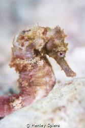 Hippocampus Vulgaris by Henley Spiers