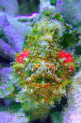 Hairy Frogfish. MABUL Island D70,105mm by Frankie Tsen