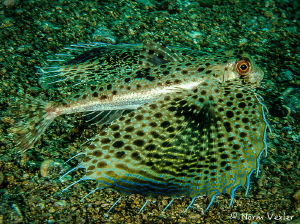 Helmut Gurnard photographed in Anilao, Philippines by Norm Vexler