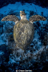 """""""Flight Position"""" A Hawksbill Turtle makes big fins off ... by Chase Darnell"""