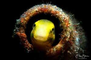Peek a boo! Lembeh strait, Indonesia by Filip Staes