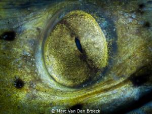 Yellow eye by Marc Van Den Broeck