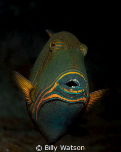 Orange-lined Triggerfish by Billy Watson