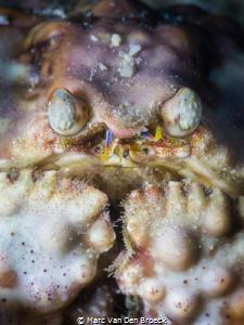 crabface by Marc Van Den Broeck
