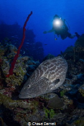 """""""Black Beauty"""" This very large Black Grouper has been ha... by Chase Darnell"""