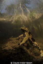 king of the hill.... male toad, Gemany freshwater by Claudia Weber-Gebert