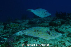 A pair of Scrawled FileFish keep an eye on me while maint... by David Gilchrist