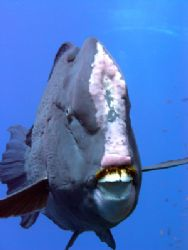 humphead parrot fish @ sanganeb north, sudan by Guja Tione