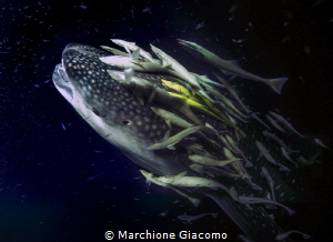 Big one. Whale shark and remores Nikon D800E, 17-35mm Ni... by Marchione Giacomo