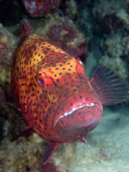 Red Sea Coral Grouper taken at Sharks Observatory, Ras Mo... by Nikki Van Veelen