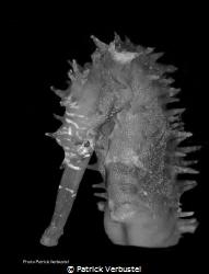 Seahorse look doubtful by Patrick Verbustel