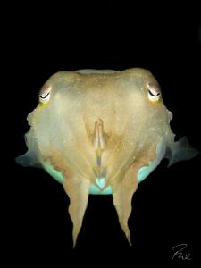 Juvenile Cuttle fish by Philippe Eggert