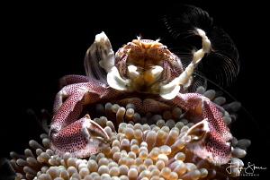 Porcelain crab, Lembeh strait, Sulawesi. by Filip Staes