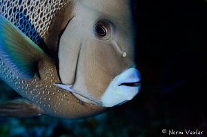 Portrait of an Angelfish by Norm Vexler