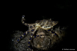 Blue ring octopus with snooted strobe light by Raffaele Livornese