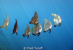 I noticed this small school of spadefish swimming by the ... by Fred Turoff