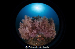 Soft Coral by Eduardo Arribada