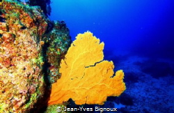 Whale Rock dive site Gorgonian coral or sea fan Mauritius... by Jean-Yves Bignoux