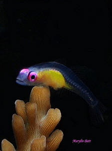 Pink eyed Goby, Anilao, Philippines by Marylin Batt