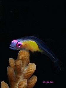 Pink eyed Goby, Anilao, Philippines by Marylin Batt